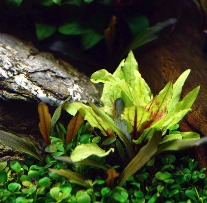 криптокорина вендта зеленый геккон
