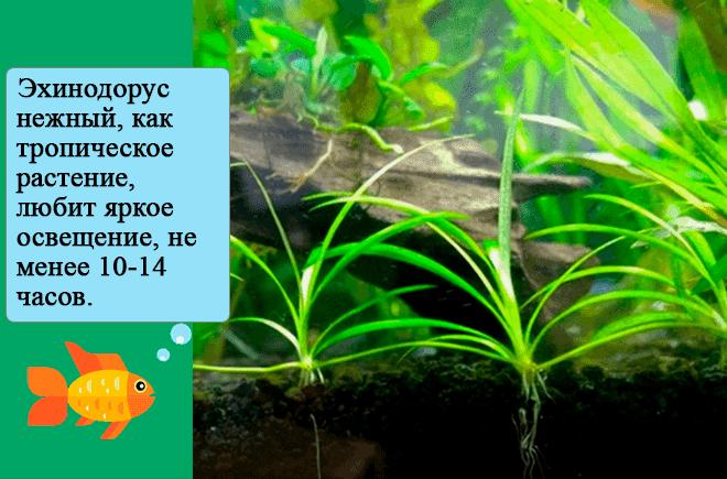 аквариумное растение карликовая амазонка