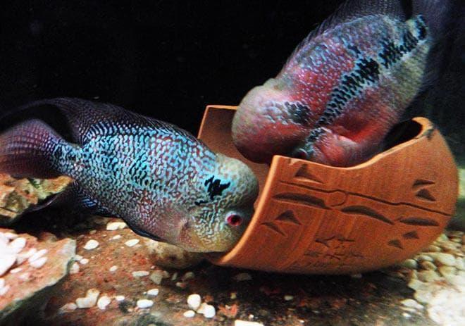 аквариум для флауэр хорн
