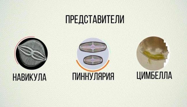 вида Диатомовых водорослей