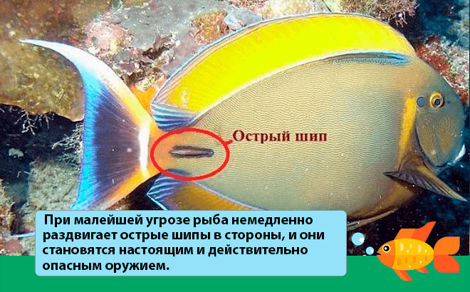 шипы рыбки хирурга
