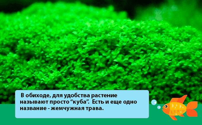жемчужная трава