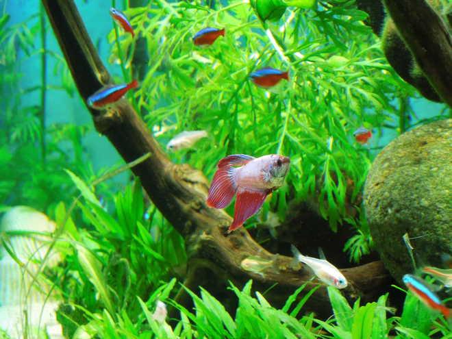 совместимость с другими рыбами