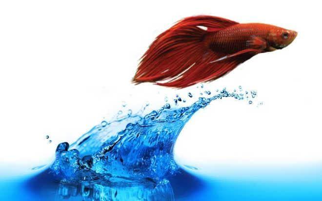 Петушок выпрыгивает из воды