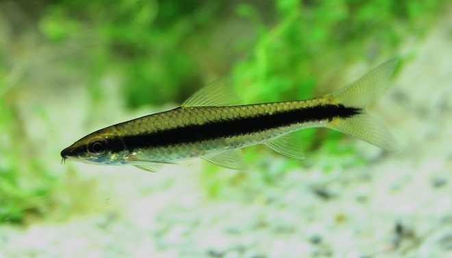 Сиамские водорослееды кроссохейлус