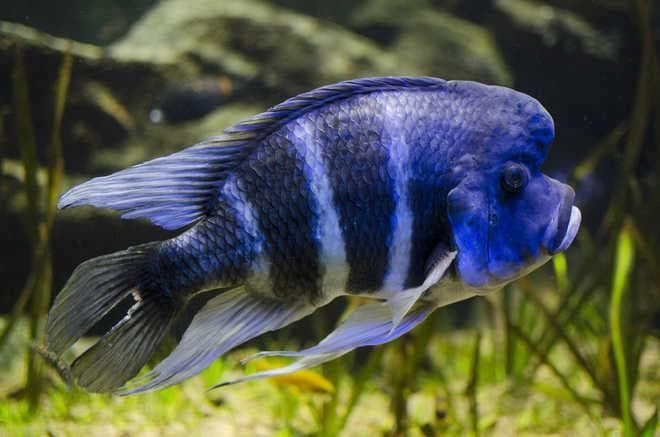 рыбка фронтоза