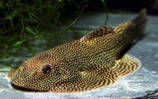 Псевдоскат севилья — маскировочная рыбка