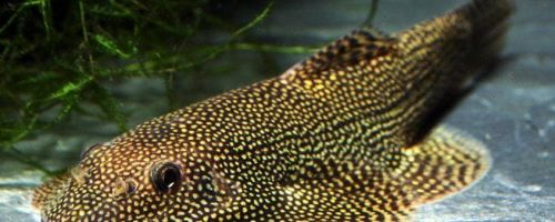 Псевдоскат севилья – маскировочная рыбка
