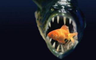 24 хищные рыбки для аквариума