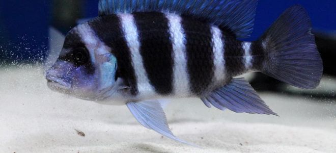 7 видов стайной рыбки фронтоза