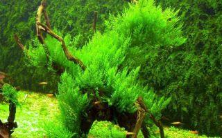ТОП-5 популярных видов мхов в аквариуме