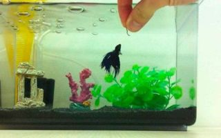 7 видов кормов для рыбки петушка