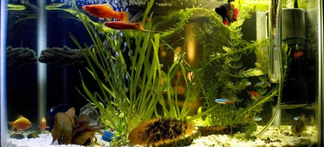 Как много аквариумных рыбок совместимы с рыбкой петушок?