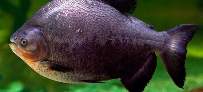 Травоядная рыбка-пиранья паку