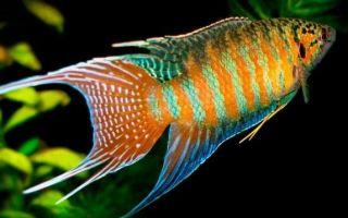 Макропод — рыбка для маленького аквариума