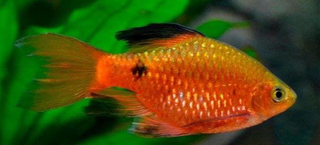 Барбус огненный – рыбка для новичков