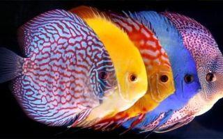 7 популярных аквариумных рыб цихлид и их содержание