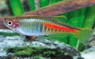 Рекомендации по содержанию рыбок данио в аквариуме