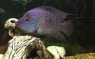 Бриллиантовая цихлазома — рыбка с экзотической окраской и поведением