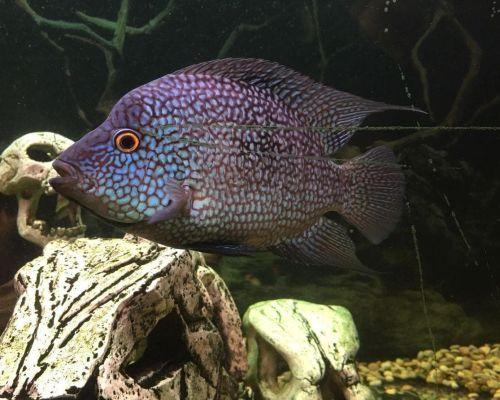 Бриллиантовая цихлазома – рыбка с экзотической окраской и поведением