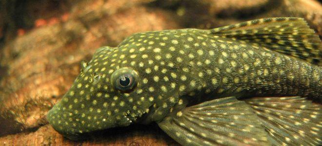 Сомик анциструс может сам чистить аквариум?