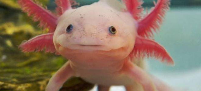 Настоящий водяной дракон в аквариуме?