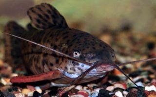 Сомы таракатумы – чистильщики аквариума
