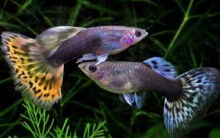 Как содержать одну из самых популярных рыбок гуппи