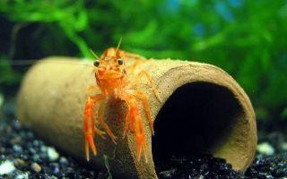 Рак в аквариуме: 9 самых распространённых аквариумных видов!