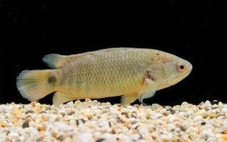 Редковстречающая лабиринтовая рыбка анабас