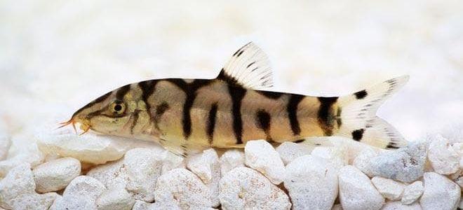 Боция клоун и еще 12 видов рыбки