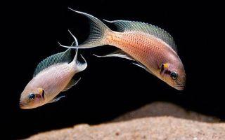 Принцесса Бурунди – рыбка с развитой иерархией