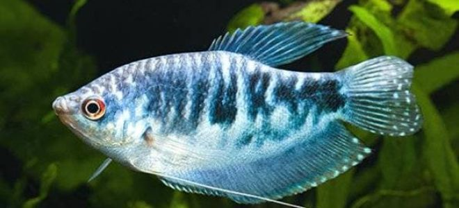 Хитрости в содержании рыбок гурами: от происхождения до размножения