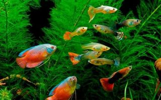 Гурами и 18 совместимых рыбок