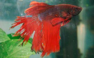 Как можно победить и вылечить плавниковую гниль у рыб?