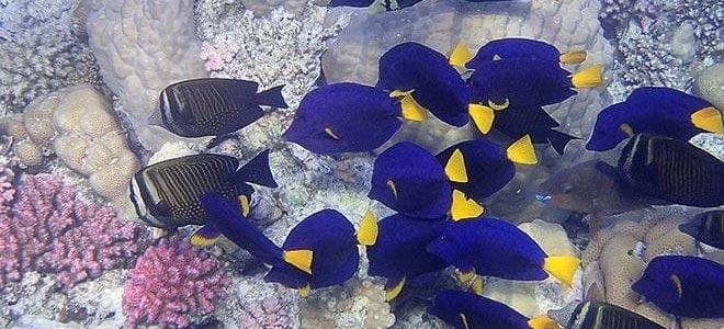 Рыбка голубой хирург и что нужно знать о ее содержании