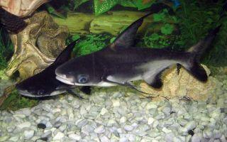 Настоящая аквариумная акула и содержание акульего сома в аквариуме