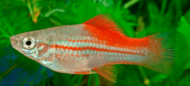 Рекомендации по уходу за рыбками меченосцами в аквариуме