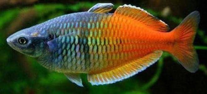 Что нужно знать, прежде чем завести радужных рыбок