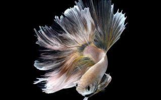 11 частых симптомов болезней у рыбок петушков