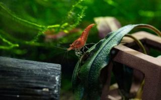 Загадочная Креветка Вишня в вашем аквариуме
