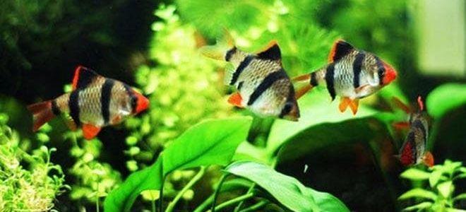 Что нужно знать для разведения барбусов в аквариуме