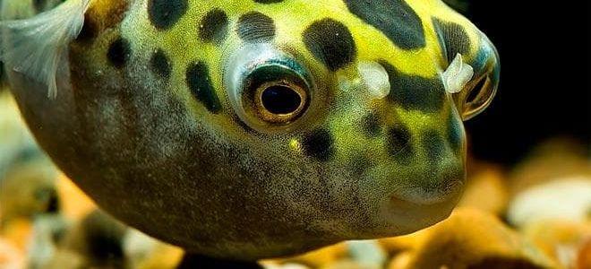 Рыба шар, которая раздувается при опасности