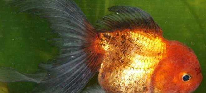 12 признаков заболеваний золотой рыбки