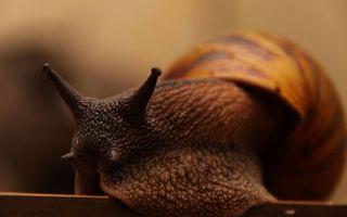 12 самых популярных видов улиток в аквариуме