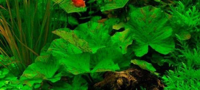 6 видов нимфеи для аквариума