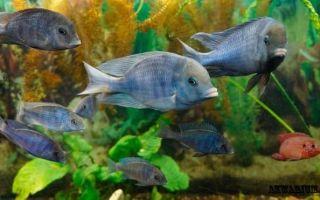 Можно ли завести в аквариуме рыбку как голубой дельфин?