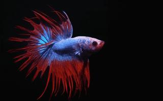 Почему петушков называют бойцовской рыбкой?
