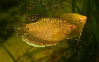 Гурами золотые — солнечные «зайчики» в аквариуме