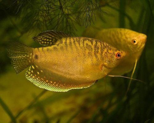 Гурами золотые – солнечные «зайчики» в аквариуме
